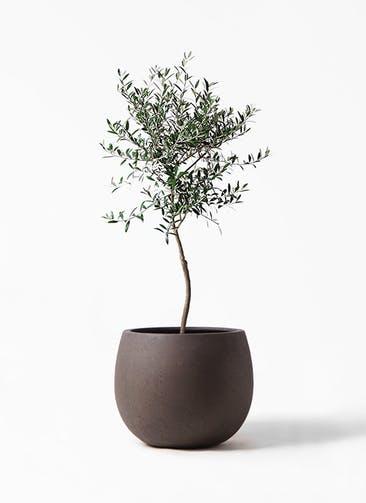 観葉植物 オリーブの木 7号 創樹 テラニアス ローバルーン アンティークブラウン 付き