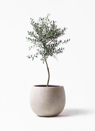 観葉植物 オリーブの木 7号 創樹 テラニアス ローバルーン アンティークホワイト 付き