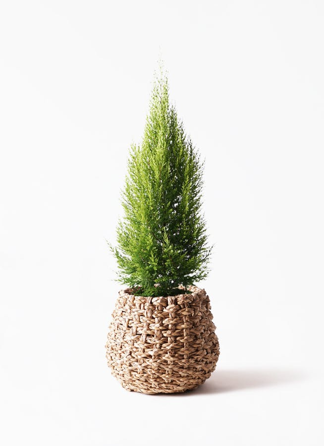 観葉植物 ゴールドクレスト 8号 ノーマル ラッシュバスケット Natural 付き