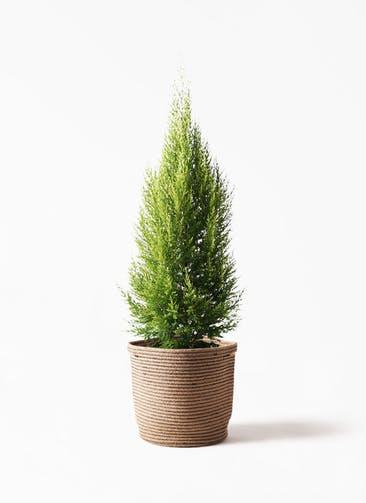 観葉植物 ゴールドクレスト 8号 ノーマル リブバスケットNatural 付き