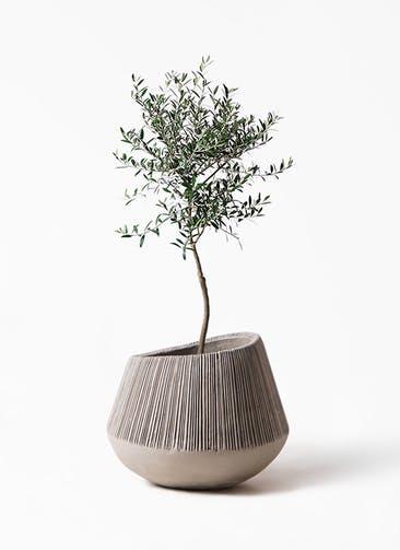 観葉植物 オリーブの木 7号 創樹 エディラウンド グレイ 付き