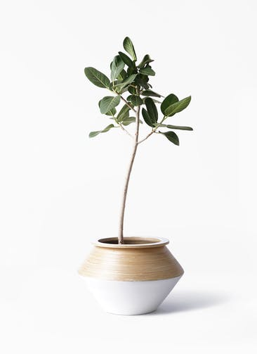 観葉植物 フィカス ベンガレンシス 8号 ストレート アルマジャー 白 付き