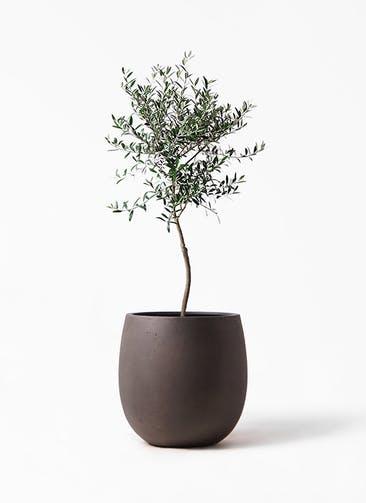 観葉植物 オリーブの木 7号 創樹 テラニアス バルーン アンティークブラウン 付き