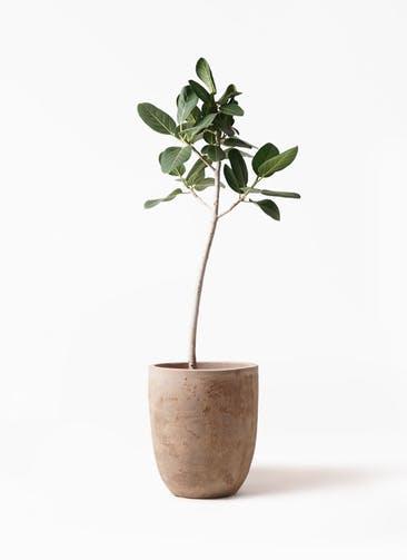 観葉植物 フィカス ベンガレンシス 8号 ストレート ルーガ アンティコ アルトエッグ 付き