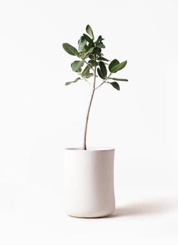 観葉植物 フィカス ベンガレンシス 8号 ストレート バスク ミドル ホワイト 付き
