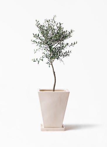観葉植物 オリーブの木 7号 創樹 スクエアハット 白 付き