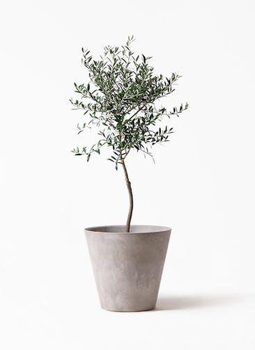 観葉植物 オリーブの木 7号 創樹 アートストーン ラウンド グレー 付き