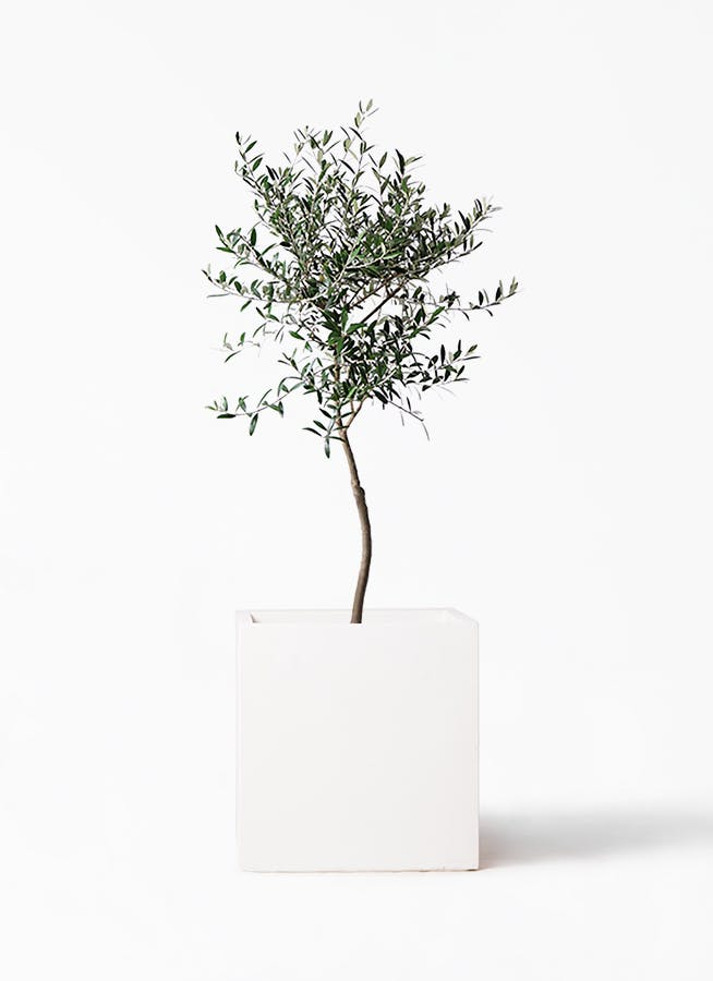 観葉植物 オリーブの木 7号 創樹 バスク キューブ 付き