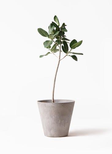 観葉植物 フィカス ベンガレンシス 8号 ストレート アートストーン ラウンド グレー 付き