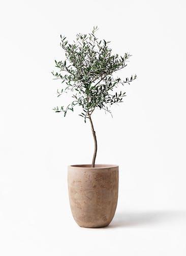 観葉植物 オリーブの木 7号 創樹 ルーガ アンティコ アルトエッグ 付き