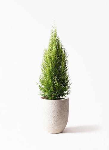 観葉植物 ゴールドクレスト 8号 ノーマル ビアスアルトエッグ 白 付き