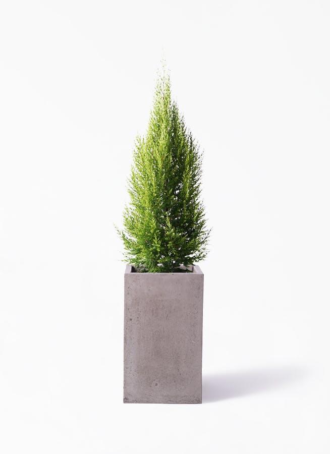 観葉植物 ゴールドクレスト 8号 ノーマル セドナロング グレイ 付き