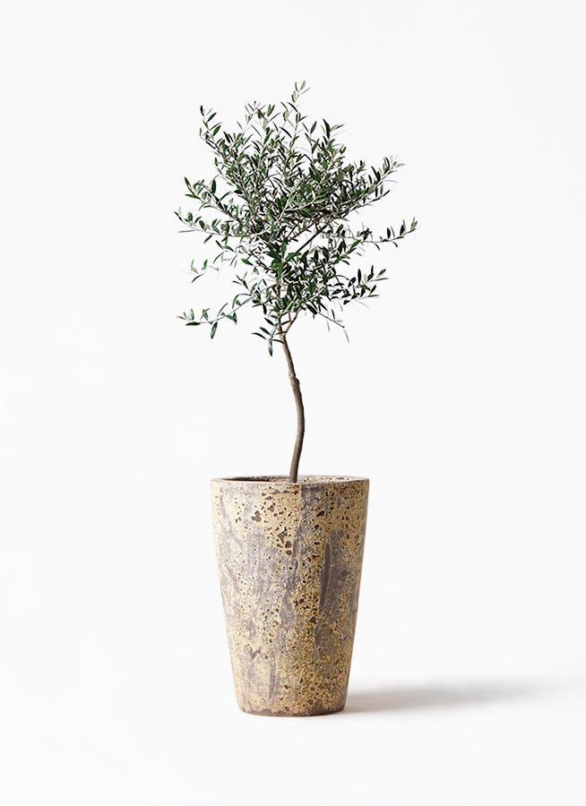 観葉植物 オリーブの木 7号 創樹 アトランティス クルーシブル 付き