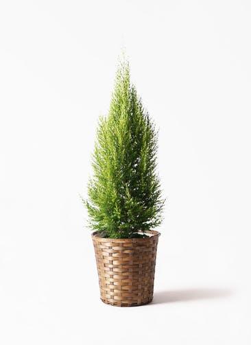 観葉植物 ゴールドクレスト 8号 ノーマル 竹バスケット 付き