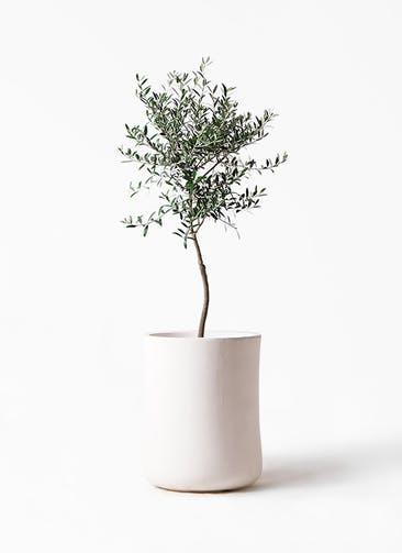 観葉植物 オリーブの木 7号 創樹 バスク ミドル ホワイト 付き