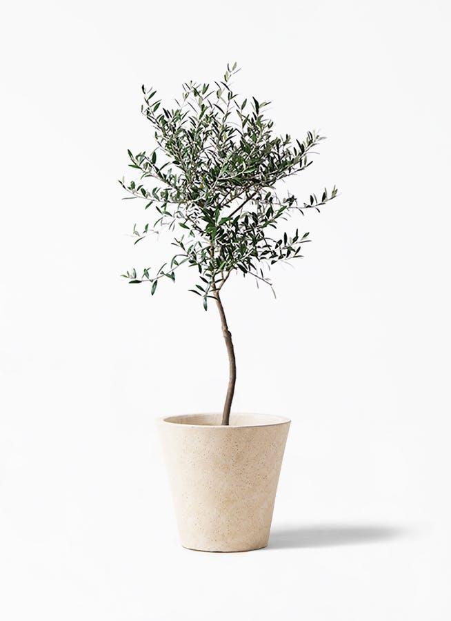 観葉植物 オリーブの木 7号 創樹 フォリオソリッド クリーム 付き