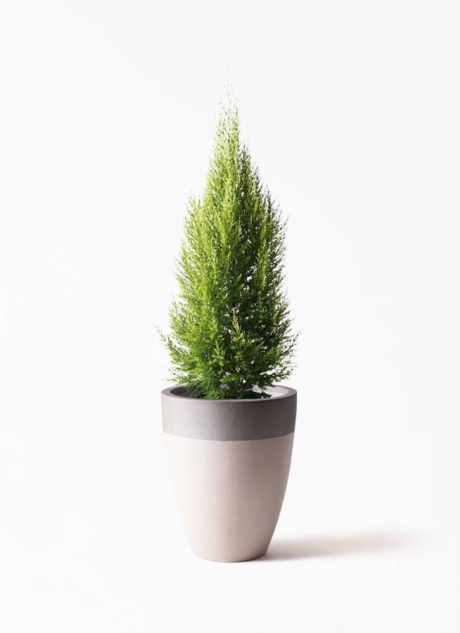 観葉植物 ゴールドクレスト 8号 ノーマル ファイバーストーンカプリ サンディホワイト 付き