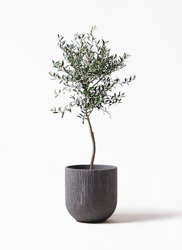 観葉植物 オリーブの木 7号 創樹 カルディナダークグレイ 付き