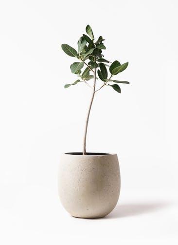 観葉植物 フィカス ベンガレンシス 8号 ストレート テラニアス バルーン アンティークホワイト 付き