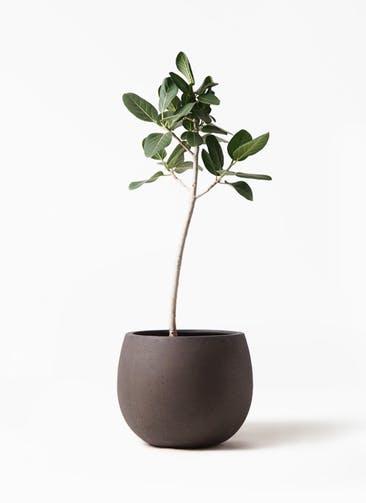 観葉植物 フィカス ベンガレンシス 8号 ストレート テラニアス ローバルーン アンティークブラウン 付き