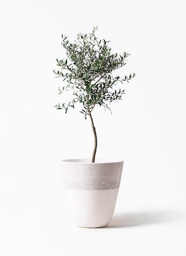 観葉植物 オリーブの木 7号 創樹 ジュピター 白 付き
