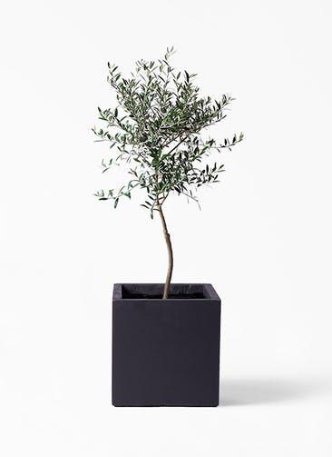 観葉植物 オリーブの木 7号 創樹 ベータ キューブプランター 黒 付き