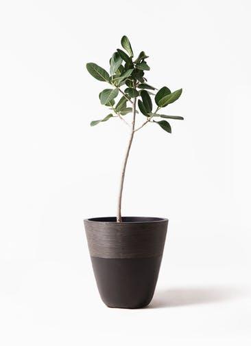 観葉植物 フィカス ベンガレンシス 8号 ストレート ジュピター 黒 付き
