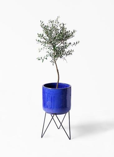 観葉植物 オリーブの木 7号 創樹 ビトロ エンデカ ブルー アイアンポットスタンド ブラック 付き