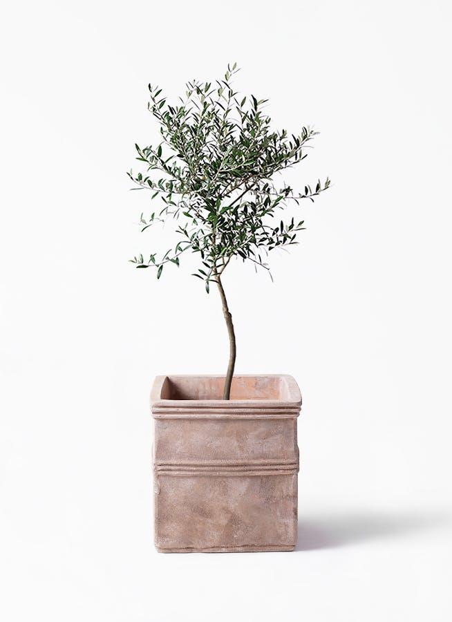 観葉植物 オリーブの木 7号 創樹 テラアストラ カペラキュビ 赤茶色 付き