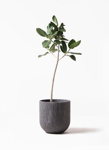 観葉植物 フィカス ベンガレンシス 8号 ストレート カルディナダークグレイ 付き