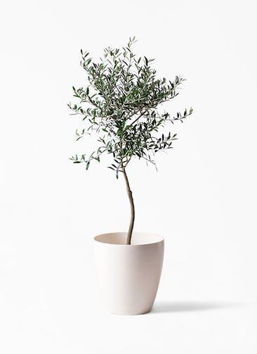 観葉植物 オリーブの木 7号 創樹 ラスターポット 付き