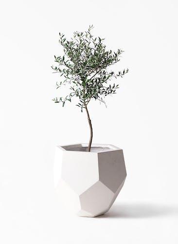観葉植物 オリーブの木 7号 創樹 ポリゴヘクサ 白 付き