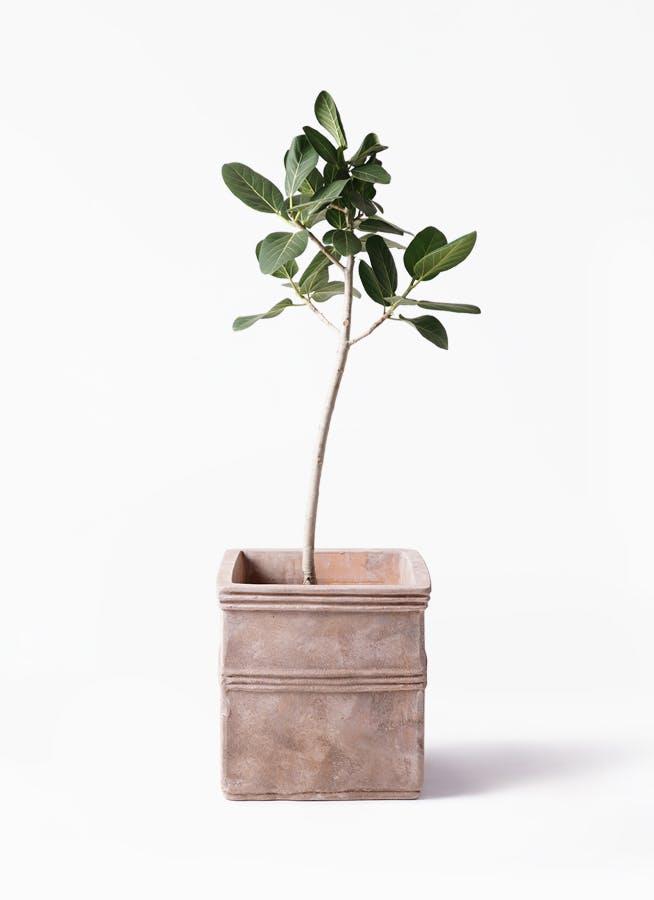観葉植物 フィカス ベンガレンシス 8号 ストレート テラアストラ カペラキュビ 赤茶色 付き
