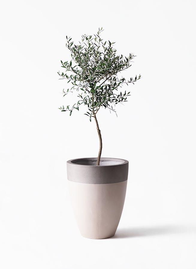 観葉植物 オリーブの木 7号 創樹 ファイバーストーンカプリ サンディホワイト 付き