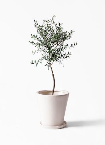 観葉植物 オリーブの木 7号 創樹 サブリナ 白 付き