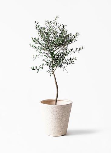 観葉植物 オリーブの木 7号 創樹 ビアスソリッド 白 付き