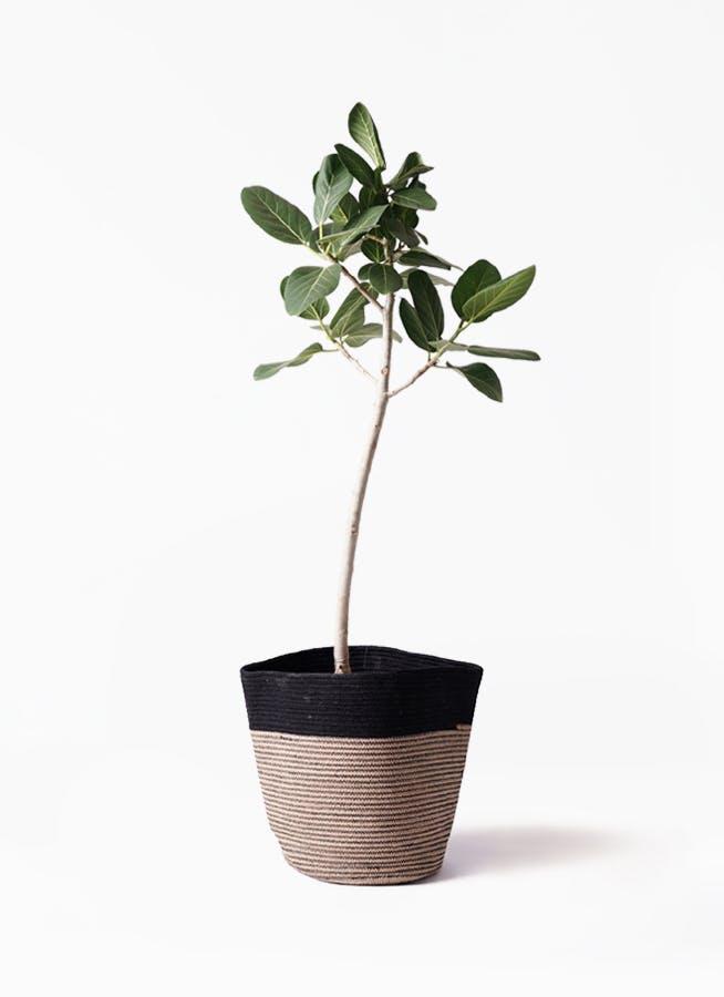 観葉植物 フィカス ベンガレンシス 8号 ストレート リブバスケットNatural and Black 付き