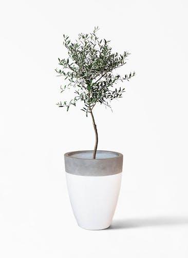 観葉植物 オリーブの木 7号 創樹 ファイバーストーンカプリ 白 付き
