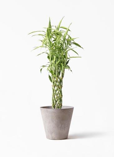 観葉植物 ドラセナ ミリオンバンブー(幸運の竹) 8号 アートストーン ラウンド グレー 付き