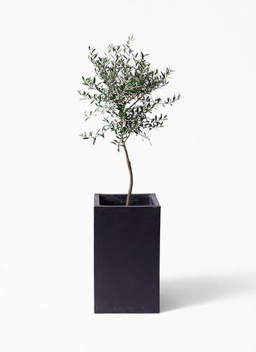 観葉植物 オリーブの木 7号 創樹 セドナロング 墨 付き