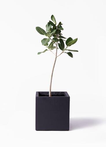 観葉植物 フィカス ベンガレンシス 8号 ストレート ベータ キューブプランター 黒 付き