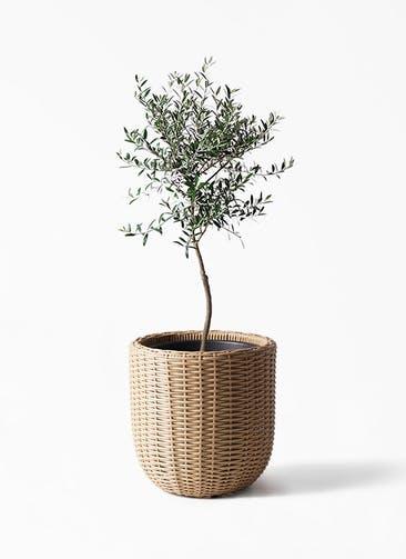 観葉植物 オリーブの木 7号 創樹 ウィッカーポットエッグ ベージュ 付き