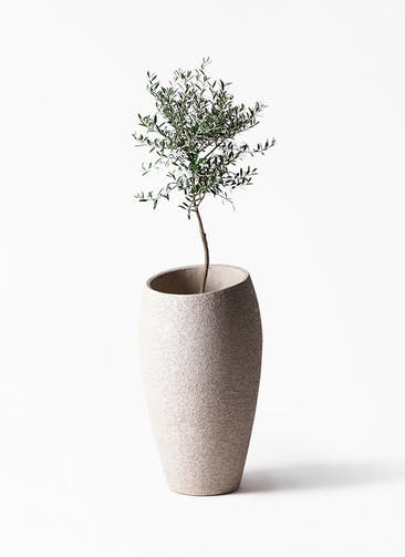 観葉植物 オリーブの木 7号 創樹 エコストーントールタイプ Light Gray 付き