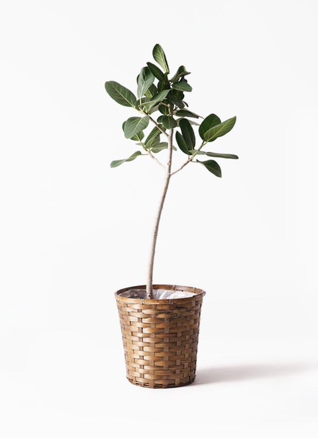 観葉植物 フィカス ベンガレンシス 8号 ストレート 竹バスケット 付き