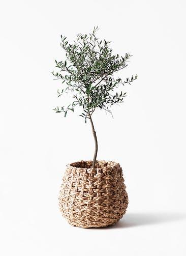 観葉植物 オリーブの木 7号 創樹 ラッシュバスケット Natural 付き