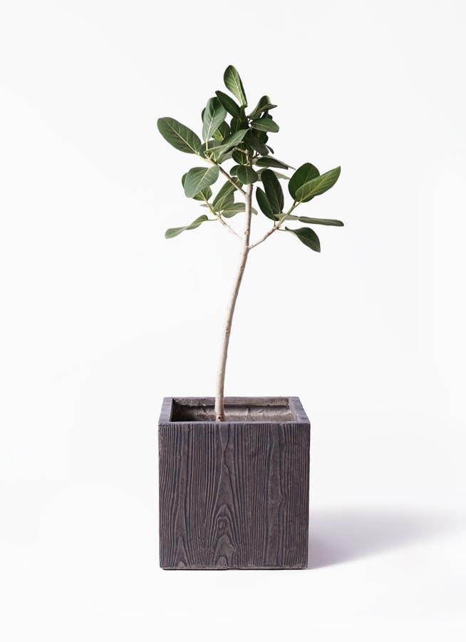 観葉植物 フィカス ベンガレンシス 8号 ストレート ベータ キューブプランター ウッド 茶 付き