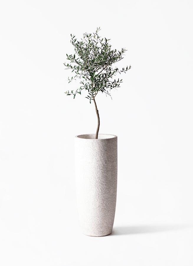 観葉植物 オリーブの木 7号 創樹 エコストーントールタイプ white 付き