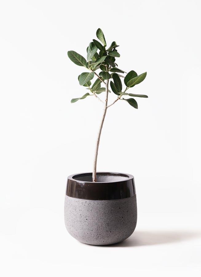 観葉植物 フィカス ベンガレンシス 8号 ストレート ファイバーストーンタウルス 黒 付き