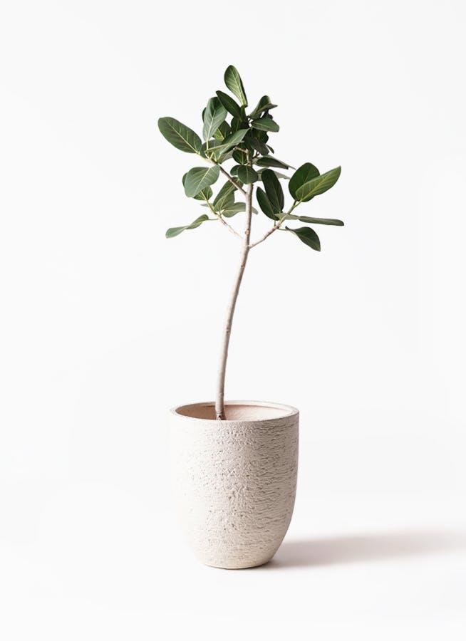 観葉植物 フィカス ベンガレンシス 8号 ストレート ビアスアルトエッグ 白 付き