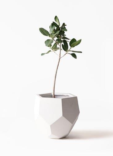 観葉植物 フィカス ベンガレンシス 8号 ストレート ポリゴヘクサ 白 付き